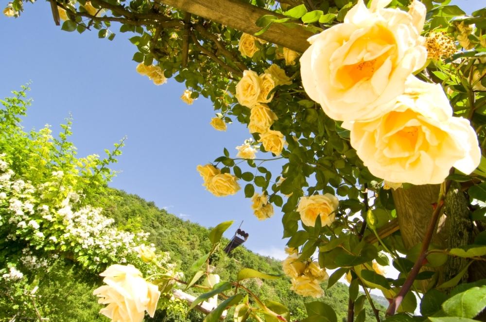 Rose-gialle-Giardini-di-Sissi